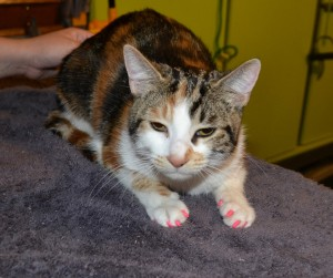 Skittles is a 7mth old kitten (Domestic Short hair Breed) She had her fur raked for that dead hair, nails clipped, wash n blowdry and some Pretty Pink Softpaw nail Caps. Pampered by Kylies Cat Grooming Services Also All Size Dogs.