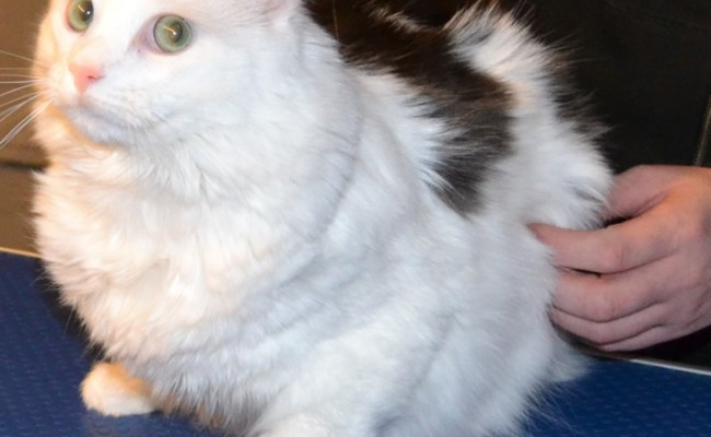 Before – Erick the Norweigan Forest cat came in for a fur rake. Pampered by Kylies Cat Grooming services Also All Size Dogs.