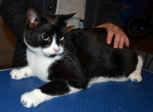 Pepe is a Short Hair Domestic breed who came in for some Glitter Blue Softpaw nail caps, pampered. by Kylies Cat Grooming Services Also All Size Dogs