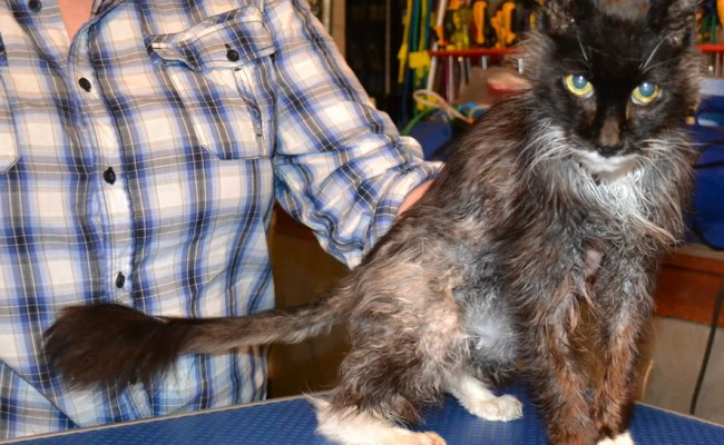 Before shot – Sam is a 17 year old Norwegian Forest Cat who has Hyperthyroidism for the last 2 years which makes him very thin and also makes his fur all greasy as he is now a sweater. Pampered by Kylies Cat Grooming Services Also All Size Dogs.