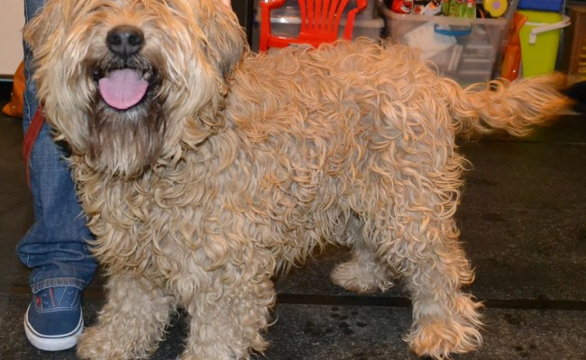 Jazabell is a Soft Coated Wheaten Terrier pampered by Kylies Cat Grooming Services Also All Size Dogs