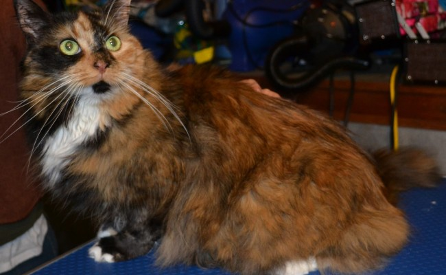 Minka is a Long hair Domestic Breed pampered by Kylies Cat Grooming Services Also All Size Dogs