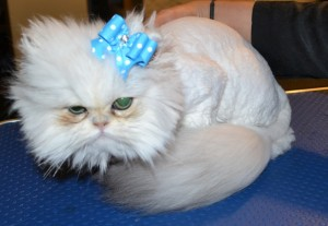 After shot - Yiota is a 6 month old Persian breed who had to be shaved down due to most of her fur being matted to the skin. Pamapered by Kylies Cat Grooming Services Also All Size Dogs.