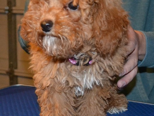 Poodle is a 3mth old Toy Poodle that has been pampered by Kylies cat Grooming Services Also All Size Dogs