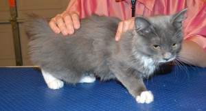 Before - Bubbles is a 3 mth old kitten. (Domestic Long Hair Bread), she had a medium fur clip, nails clipped, wash n blowdry and some Purple Softpaw Nail Caps. Pampered by Kylies Cat Grooming Services Also All Size Dogs.