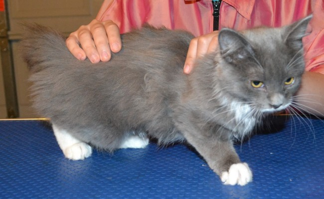 Before – Bubbles is a 3 mth old kitten. (Domestic Long Hair Bread), she had a medium fur clip, nails clipped, wash n blowdry and some Purple Softpaw Nail Caps.  Pampered by Kylies Cat Grooming Services Also All Size Dogs.