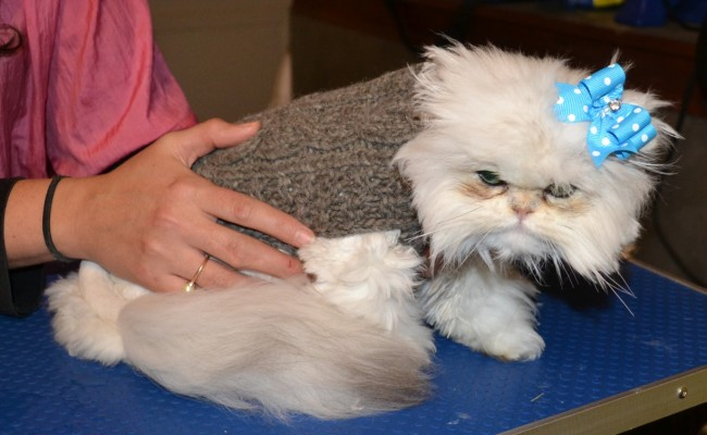 After shot – Yiota is a 6 month old Persian breed who had to be shaved down due to most of her fur being matted to the skin.  Pamapered by Kylies Cat Grooming Services Also All Size Dogs.