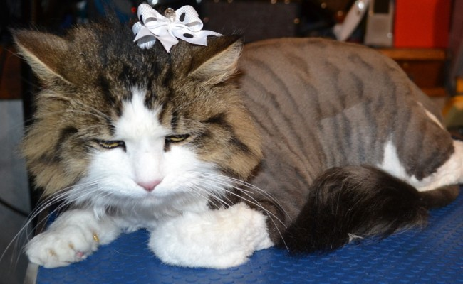Brook is a Medium Hair Tabby breed pampered by Kylies Cat Grooming Services Also All Size Dogs