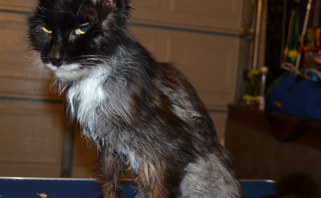 After shot- Sam is a 17 year old Norwegian Forest Cat who has Hyperthyroidism for the last 2 years which makes him very thin and also makes his fur all greasy as he is now a sweater. Pampered by Kylies Cat Grooming Services Also All Size Dogs.