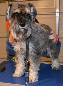 Hugo is a Schnauzer pampered by Kylies Cat Grooming Services Also All Size Dogs