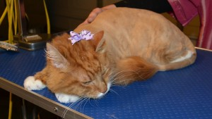Charlie Mustard is a Mainecoon Breed pampered by Kylies Cat Grooming Services Also All Size Dogs