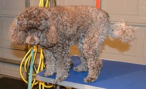 Pip is a Poodle. Pampered by Kylies Cat Grooming Services Also All Size Dogs.