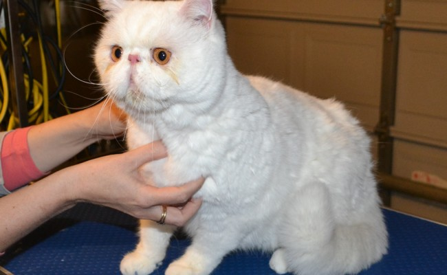 Before – Charlie is a Short hair Persian, he came in for  fur raking, wash n blowdry, nails clipped and Glitter Blue Softpaw nail caps. Pampered by Kylies Cat Grooming Services Also All Size Dogs.
