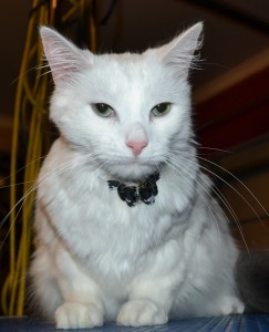 After - Erick the Norweigan Forest cat came in for a fur rake. Pampered by Kylies Cat Grooming services Also All Size Dogs.