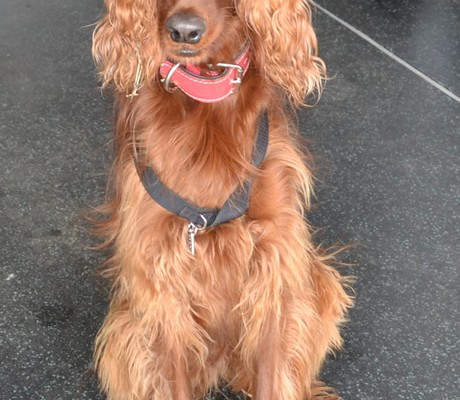 Before – Scarlett is a Irish setter who came in for a wash n blowdry and nails clipped. Pampered by Kylies Cat Grooming Services Also All Size Dogs.