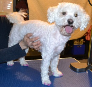Buddy is a Maltese x Bichon Frise pampered by Kylies Cat Grooming Services Also All Size Dogs
