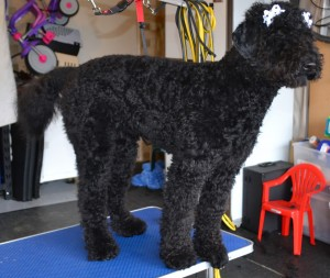 Harper is a Groodle (Crossed between a Golder Retriever and Poodle) Pampered by Kylies Cat Grooming Services Also All Size Dogs.