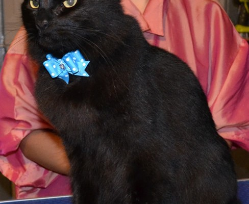 After shot –  Merzbow is a Mainecoon X Domestic breed pampered by Kylies Cat Grooming Services Also All Size Dogs