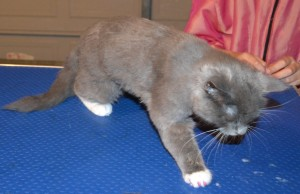 Bubbles is a 3 mth old kitten. (Domestic Long Hair Bread), she had a medium fur clip, nails clipped, wash n blowdry and some Purple Softpaw Nail Caps. Pampered by Kylies Cat Grooming Services Also All Size Dogs.