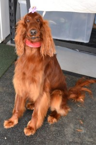 After - Scarlett is a Irish setter who came in for a wash n blowdry and nails clipped. Pampered by Kylies Cat Grooming Services Also All Size Dogs.