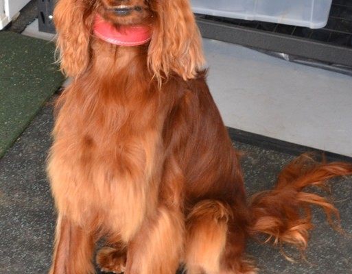 After – Scarlett is a Irish setter who came in for a wash n blowdry and nails clipped. Pampered by Kylies Cat Grooming Services Also All Size Dogs.