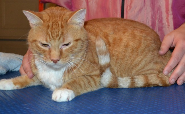After shot – Sam is a Short Hair Ginger breed pampered by Kylies Cat Grooming Services Also All Size Dogs