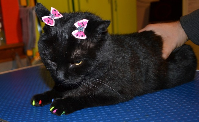 Salem is a short hair domestic who came in for a good brush out, wash n blow dry, nail clipping and some colorful Softpaw nail Caps.  Pampered by Kylies Cat Grooming Services Also All Size Dogs.
