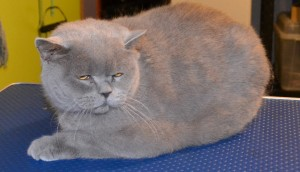Before - Ryder is a 7kg Short Hair British Blue. Pampered by Kylies Cat Grooming Services Also All Size Dogs