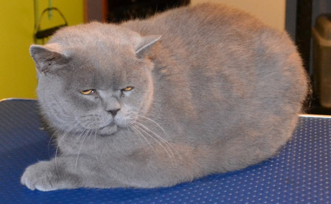Before – Ryder is a 7kg Short Hair British Blue. Pampered by Kylies Cat Grooming Services Also All Size Dogs