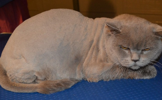 After – Ryder is a 7kg Short Hair British Blue. Pampered by Kylies Cat Grooming Services Also All Size Dogs