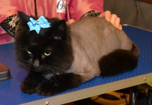 Pepa is a Ragdoll x Russian Blue breed, wearing Blue Softpaw nail Caps. Pampered by Kylies Cat Grooming Services Also All Size Dogs.