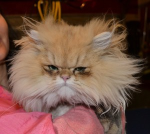 Luigi is a 9 month old Chinchilla Persian. Pampered by Kylies cat Grooming Services Also All Size Dogs.