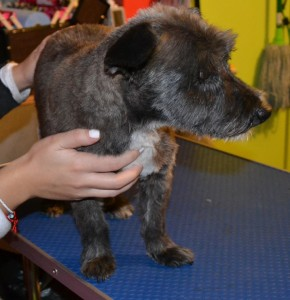 Julie is a 15 year old Scottish terrier X that is nearly blind. Pampered by Kylies Cat Grooming Services Also All Size Dogs