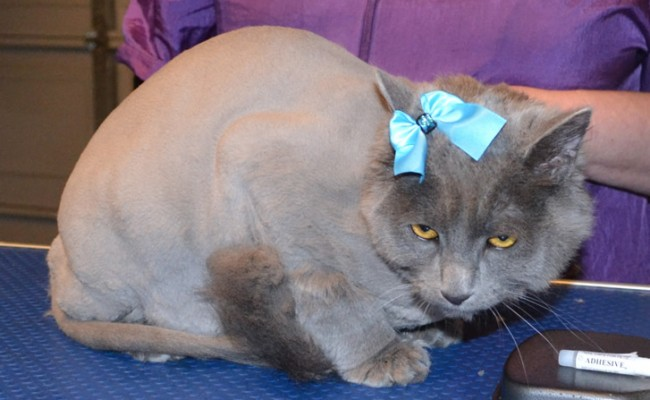 River is a Russian Blue x.  9th sept 2013 she has now had her fur shaved. and is wearing glitter Blue Softpaw nail Caps.  Pampered by Kylies cat Grooming services Also All Size Dogs.