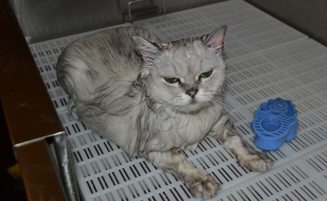 Flora is a Australian Tiffanie breed. She came in for a fur raking, wash n blowdry, nails clipped and some Softpaw nail caps. Pampered by Kylies Cat Grooming Services Also All Size Dogs.