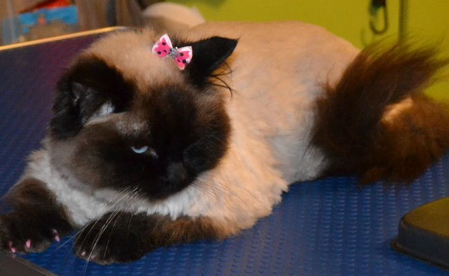 Panda is a Ragdoll breed who had a medium length fur clip plus a full groom and is wearing her Baby Pink Softpaw Nail Caps. Pampered by Kylies Cat Grooming Services Also All Size Dogs.
