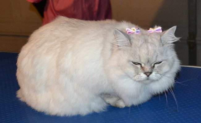 After – Flora is a Australian Tiffanie breed. She came in for a fur raking, wash n blowdry, nails clipped and some Softpaw nail caps. Pampered by Kylies Cat Grooming Services Also All Size Dogs.