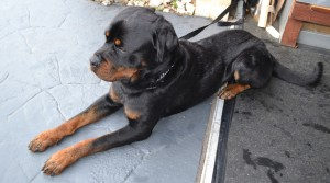 After - Bronx is a 18mth old Rottweiler, pampered by Kylies Cat Grooming Services Also All Size Dogs