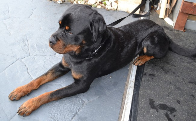 After – Bronx is a 18mth old Rottweiler, pampered by Kylies Cat Grooming Services Also All Size Dogs