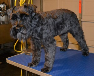 Ebony is a Schnauzer pampered by Kylies Cat Grooming Services Also All Size Dogs