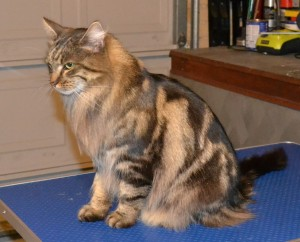 After - Magic is a Norwegian Forest Cat who came in for a fur raking and nails clipped. Pampered by Kylies Cat Grooming Services Also All Size Dogs.