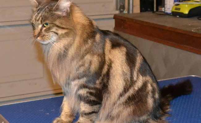 After – Magic is a Norwegian Forest Cat who came in for a fur raking and nails clipped. Pampered by Kylies Cat Grooming Services Also All Size Dogs.