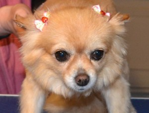 Julie the Long Hair Chihauhau, pampered by Kylies Cat Grooming Services Also All Size Dogs.