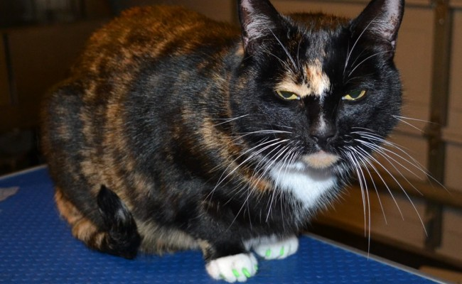 Mop is a Domestic Tortoise Shell who is now wearing some lovely Green Softpaw nail caps. Pampered by Kylies Cat Grooming Services Also All Size Dogs.