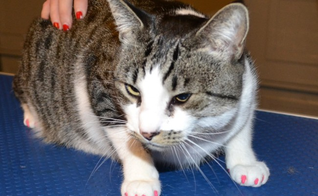 Bucket is a Domestic White/Grey Tabby who came in for some Hot Pink Softpaw Nail Caps. Pampered by Kylies Cat Grooming Services Also All Size Dogs.