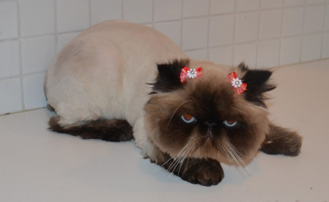 Chi Chi is a Himalayan Breed. Pampered by Kylies Cat Grooming Services Also All Size Dogs