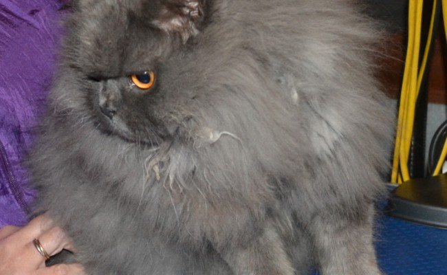 Henry is a British Long Hair. he had his full matted groom which involves, Fur clipping, nail clipping, wash n blow-dry and his ear and eyes cleaned.  Pampered by Kylies Cat Grooming Services Also All Size Dogs.