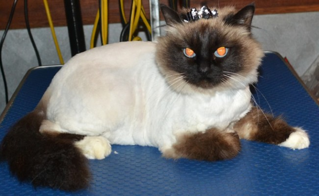 Kandi is a Birman. She came in today for her full groom. Pampered by Kylies Cat Grooming Services Also All Size Dogs.