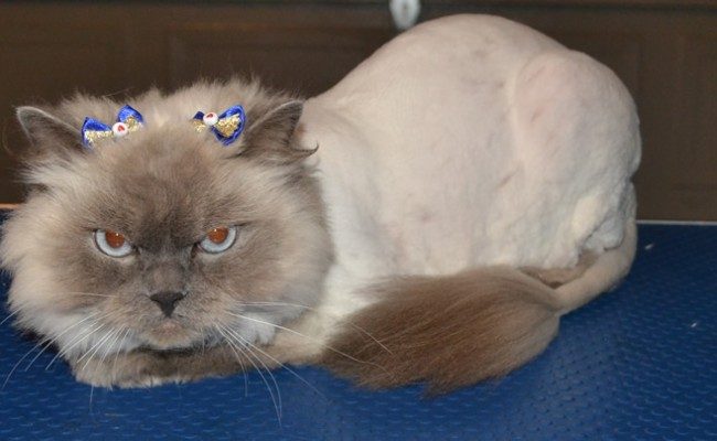 Zara is a Himalayan Ragdoll. She came in for her matted fur clip, ears cleaned and nails clipped. Pampered by Kylies Cat Grooming Services Also All Size Dogs.