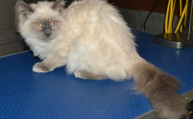 Before – Minx the 5 mth old Ragdoll came in tonight for his fur raked, nails clipped, some Glitter Blue kitten Softpaw Nail Caps and a wash n blow-dry. Pampered by Kylies Cat Grooming Services Also All Size Dogs.